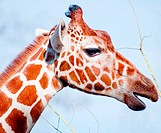 Giraffe closeup