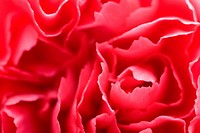macro of carnation petals