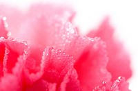 pink carnation flower with water droplets isolated