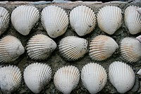 White shells background