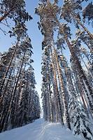 Pine, pinus sylvestris, forest and forest road  Location Mäkrä Suonenjoki Finland Scandinavia Europe