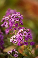 Lobularia maritima ´Royal Carpet´, Alyssum, Purple subject.