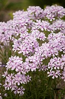 Phlox nivalis, Phlox, trailing phlox, Purple subject.
