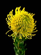 Leucospermum cordifolium ´Yellow Bird´, Pincushion, Yellow subject, Black background.
