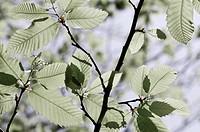 Castanea sativa, Chestnut, Sweet chestnut, Green subject.