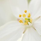 Galanthus cultivar, Snowdrop, White subject.