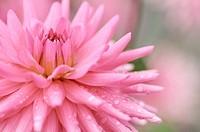 Dahlia cultivar, Dahlia, Pink subject.