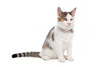 short_haired cat