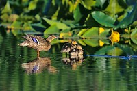 Female Mallard Duck Anas platyrhynchos with chicks on pond