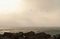 Pelicans flying over the ocean, Pacific Coast, California, USA