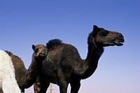 Saudi Arabia, Near Riyadh, Camel Market