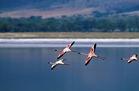 Tanzania, Ngorongoro Crater, Flamingos In Flight