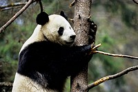 China, Sichuan Province, Wolong Panda Reserve, Giant Panda Ailuropoda Melanoleuca In Tree, Close_Up
