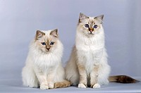 Sacred Birman, pair of cats sitting next to each other. Studio picture against a gray background