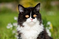 British Longhair. Portrait of black_and_white adult