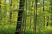 Deciduous forest, beech trees (Fagus sylvatica), Swabian Alp, Baden-Wuerttemberg, Germany, Europe, PublicGround