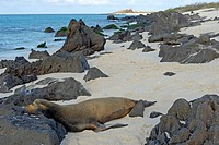 Ecuador, Galapagos Islands, Espanola Island, Galapagos Sea lion sleeping on beach