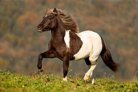 Icelandic Horse. Pinto gelding in a trot on a meadow