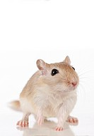 Domesticated Gerbil Meriones unguiculatus. Studio picture against a white background