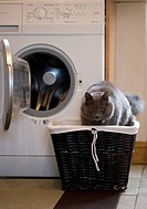 Blue domestic cat in a basket standing in front of a washing machine