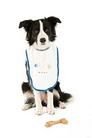 Border Collie. Black_and_white adult with bib and chewing bone, sitting. Studio picture against a white background