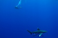 Oceanic whitetip shark Carcharhinus longimanus with a scuba diver underwater, Red Sea, Egypt