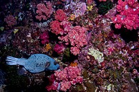 Underwater view of fish and reefs, Similan National Reserve, Richelieu Rock, Andaman Sea, Thailand