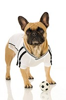 French Bulldog dressed in the shirt of the German National Football Team with a little football. Studio picture against a white