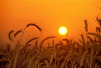 Israel, Kibbutz, Wheat field at sunset