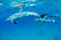 Egypt, Red Sea, Shaab sataya, Marsa alam, Spinner Dolphins Stenella longirostris