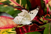 Forest Mother of Pearl Salamis parhassus perched on leaf