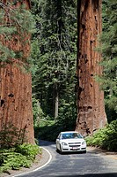 Sequoia National Park, California - Cars drive between two huge Sequoia trees on the Generals Highway in Sequoia National Park