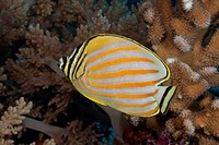 Ornate Butterflyfish on a tropical coral reef