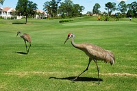 Florida, Port St  Saint Lucie, PGA Village, Pine Valley, Perfect Drive Golf Villas, golf course, golfer, sandhill crane, bird