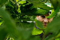 A Moroccan immigrant worker looks through the tomato plant leaves in the greenhouse of El Ejido, Spain, 22 May 2007  El Ejido, a dry region on the coa...