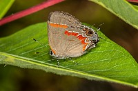 Red-banded Hairstreak Butterfly on Indian Hemp, Outer Banks, Corolla, North Carolina United States