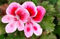 Regal geranium Pelargonium domesticum, Pelargonium x domesticum, flowers