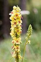 Great Mullein Verbascum thapsus, France.