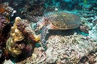Hawksbill turtle Eretmochelys imbricata  Komodo National Park, Rinca, Indonesia