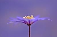 Anemone blanda ´Atrocaerulea´, Anemone