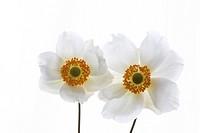 Anemone sylvestris, Anemone