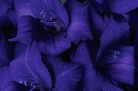 Gladiolus ´Purple Flora´, Gladiolus