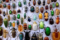 Collection of beetles from around the world, Oxford University Museum of Natural History, University of Oxford, Oxford, Oxfordshire, England, United K...