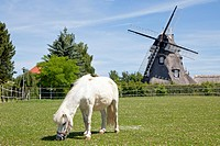 Pony grazing in front of a windmill, Dorf Mecklenburg, village, Mecklenburg_Western Pomerania, Germany, Europe