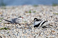 Pied Avocet (recurvirostris avosetta), with chick, Texel, The Netherlands, Europe