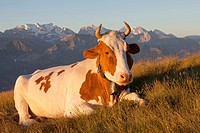 cow lying on meadow in alpine landscape, Niederhorn, Switzerland