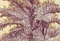 Palm Nut Harvesting on 50 Dollars 2009 Banknote from Liberia.