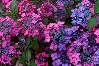 Blue And Pink Hydrangea Flowers In Garden