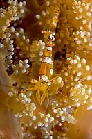 Squat anemone shrimp (Thor amboinensis), Philippines, Asia