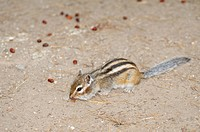Siberian chipmunk, Common chipmunk (Eutamias sibiricus) collecting pine nuts, Baikal, Siberia, Russian Federation, Eurasia